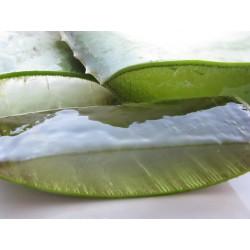 Aloe vera barbadensis miller